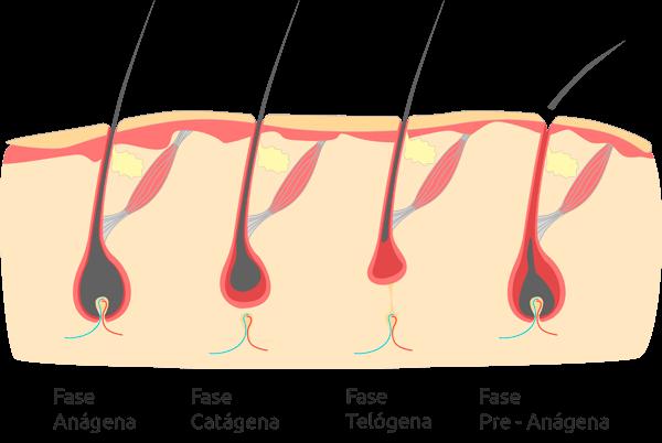 ciclo del pelo alopecia